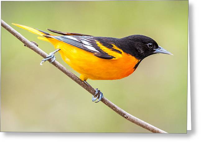 Baltimore Oriole Greeting Card by Paul Freidlund