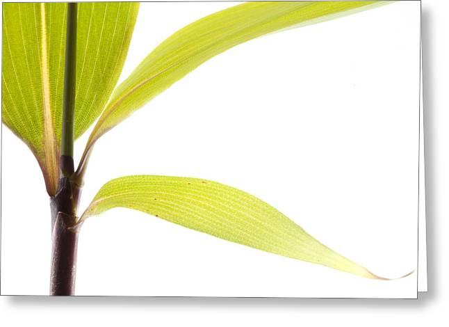 Bamboo Meditation 2 Greeting Card by Carol Leigh