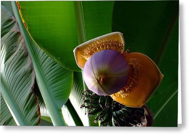 Banana Tree Greeting Cards - Banana Bloom Greeting Card by Mindy Newman