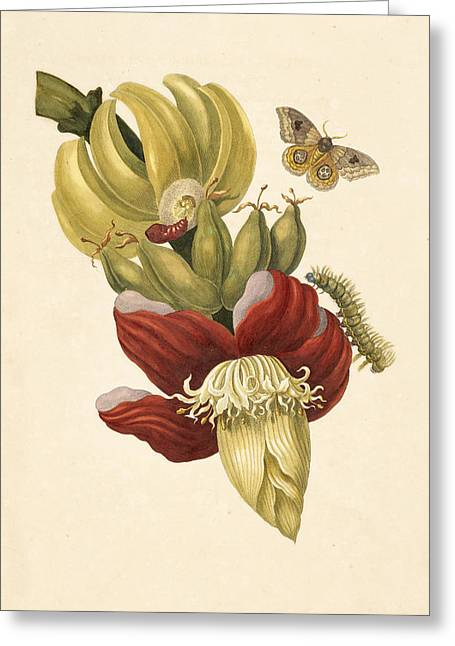 Banana Tree Greeting Cards - Banana tree flower Greeting Card by Celestial Images
