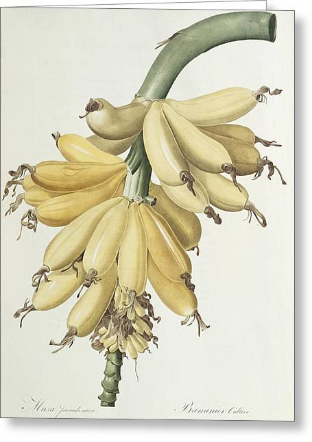 Nature Study Drawings Greeting Cards - Bananas Greeting Card by Pierre Joseph Redoute