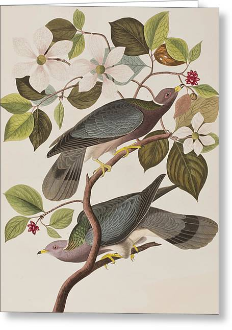 Tails Drawings Greeting Cards - Band-tailed Pigeon  Greeting Card by John James Audubon