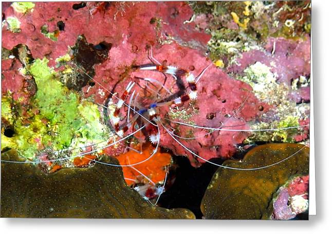 Snorkel Greeting Cards - Banded Coral Shrimp on Colorful Coral Greeting Card by Amy McDaniel