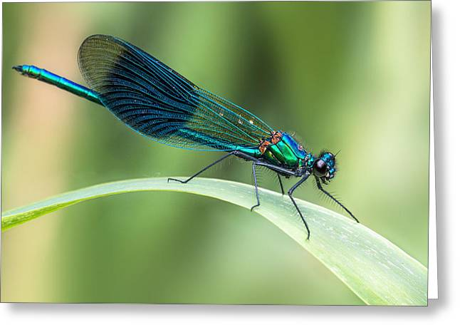 Banded Demoiselle Greeting Card by Ian Hufton