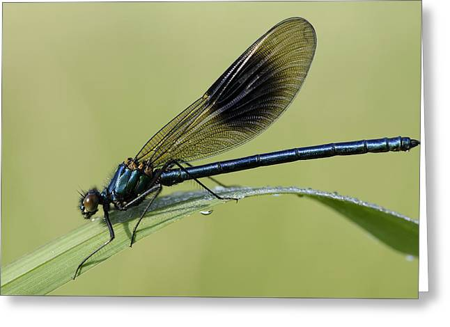 Demoiselles Greeting Cards - Banded Demoisselle Greeting Card by Mark Johnson