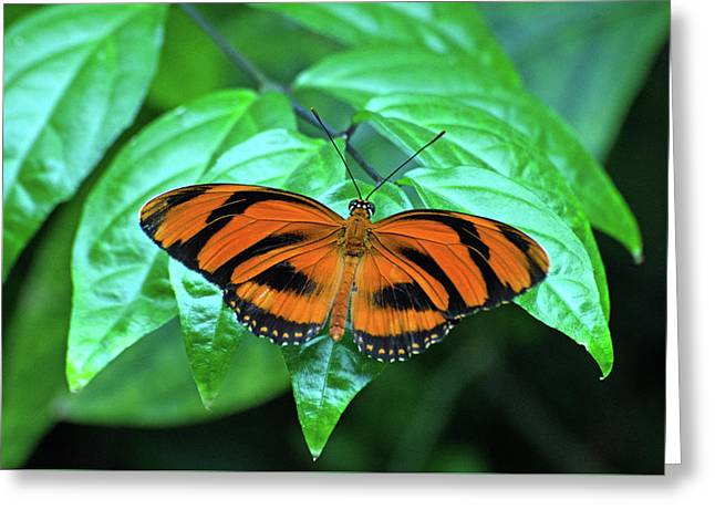 Banded Orange Longwing Butterfly Greeting Card by Cheryl Cencich