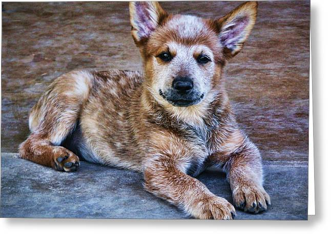 Australian Cattle Dog Greeting Cards - Bandit  Greeting Card by Saija  Lehtonen