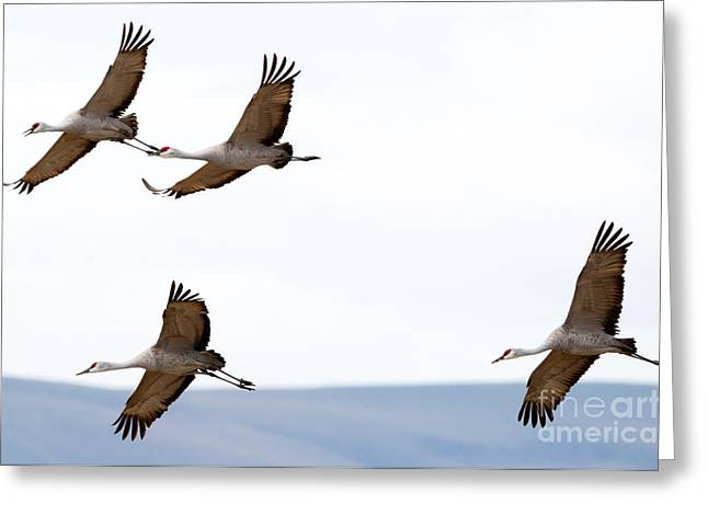 Sandhill Crane Greeting Cards - Bank Right Greeting Card by Mike Dawson