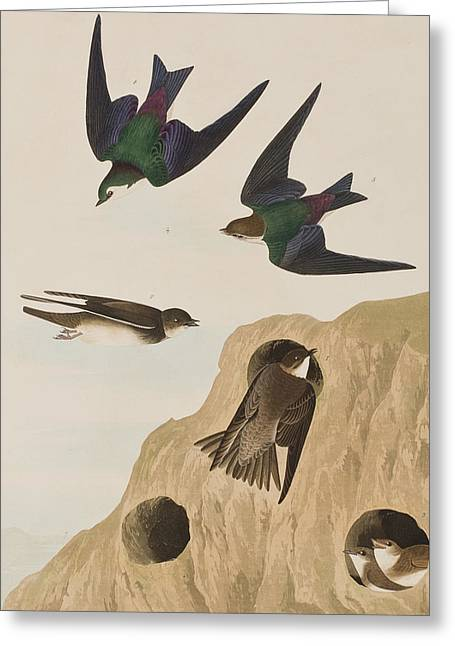 Bank Swallows Greeting Card by John James Audubon
