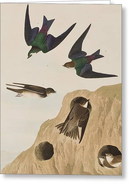 Violet Drawings Greeting Cards - Bank Swallows Greeting Card by John James Audubon