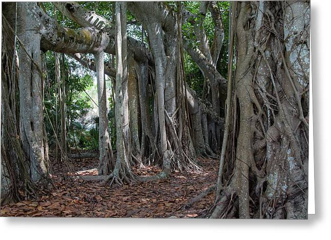 Banyan Grove Greeting Card by Richard Goldman