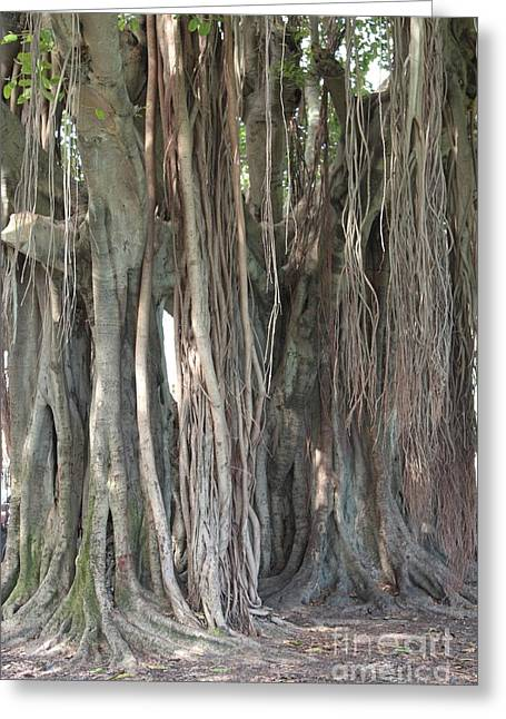 Tree Roots Greeting Cards - Banyan Tree Greeting Card by Carol Groenen