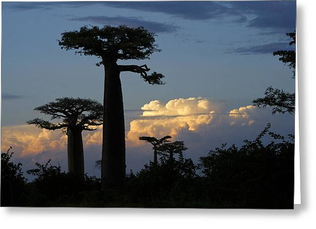 Baobab Greeting Cards - Baobabs and Storm Clouds Greeting Card by Michele Burgess