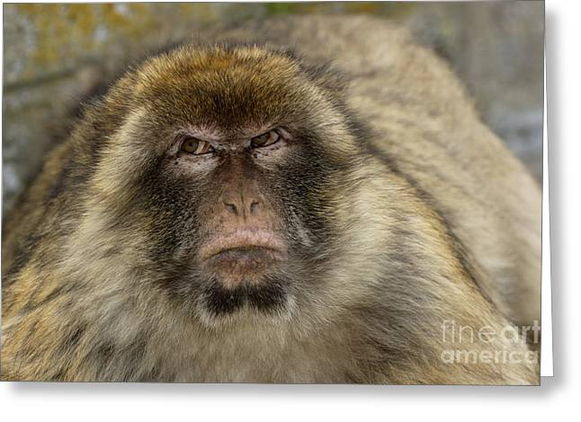 Displeased Greeting Cards - Barbary macaque looking away in annoyance Greeting Card by Sami Sarkis