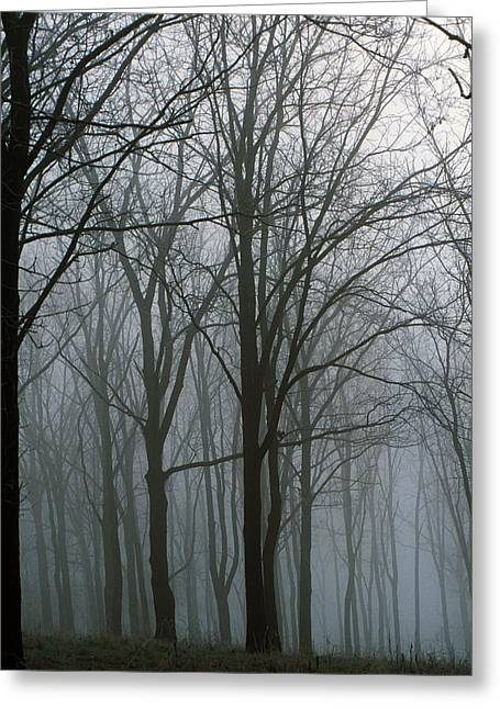 Obscure Greeting Cards - Bare Trees In Misty Forest, Finger Greeting Card by Panoramic Images
