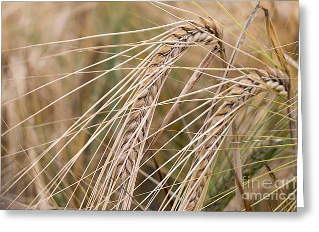Nutriment Greeting Cards - Barley Greeting Card by Michal Boubin