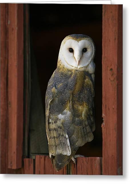 Barn Owl Looking Back From A Barn Window Greeting Card by Paul Burwell