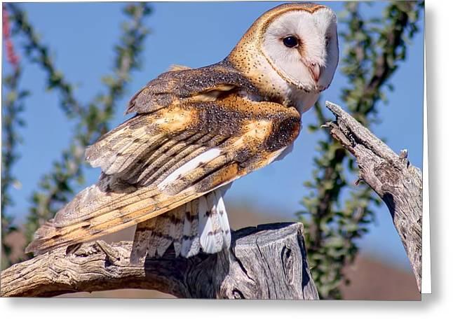 Concern Greeting Cards - Barn Owl - Raptor Greeting Card by Nikolyn McDonald