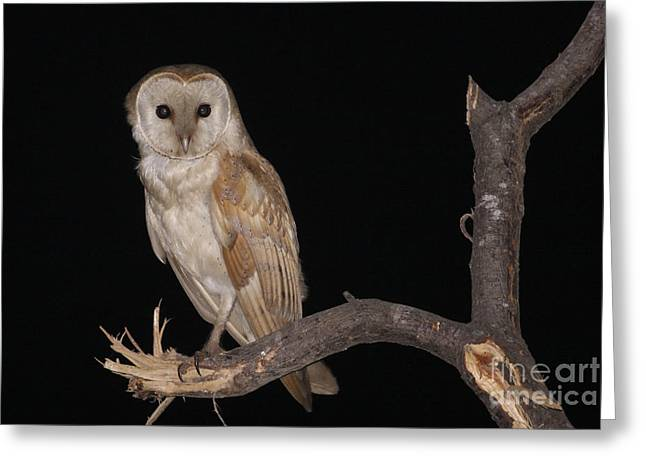 Barn Owl Tyto Alba Greeting Card by Alon Meir