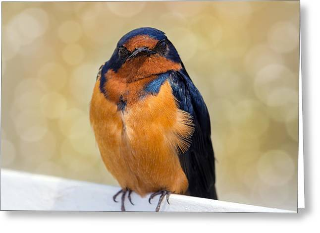Porteau Cove Provincial Park Greeting Cards - Barn Swallow Greeting Card by David Gn