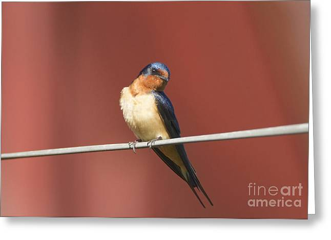 Barn Swallow Greeting Card by Marie Read