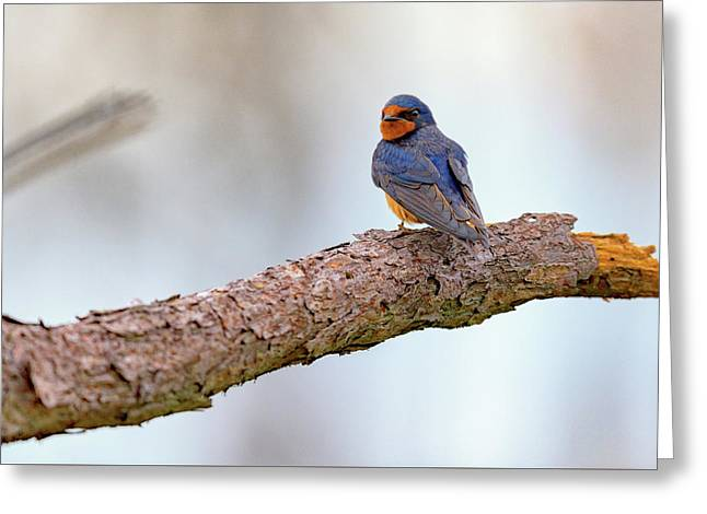 Barn Swallow On Assateague Island Greeting Card by Rick Berk