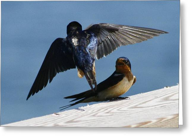 Barn Swallow Greeting Cards - Barn Swallows Greeting Card by Christopher Kirby