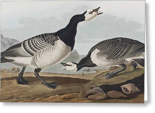 Barnacle Goose Greeting Card by John James Audubon