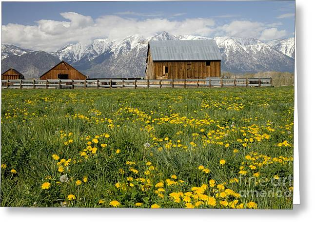 Lawns Fields Greeting Cards - Barns In A Dandelion Field Greeting Card by Inga Spence