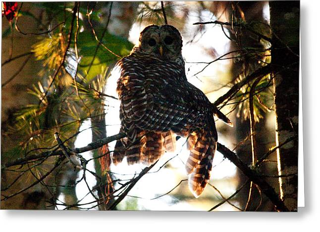 Brent L Ander Greeting Cards - Barred Owl at Sunrise Greeting Card by Brent L Ander