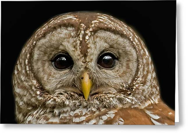 Fledglings Greeting Cards - Barred Owl Fledgling Greeting Card by Larry Linton