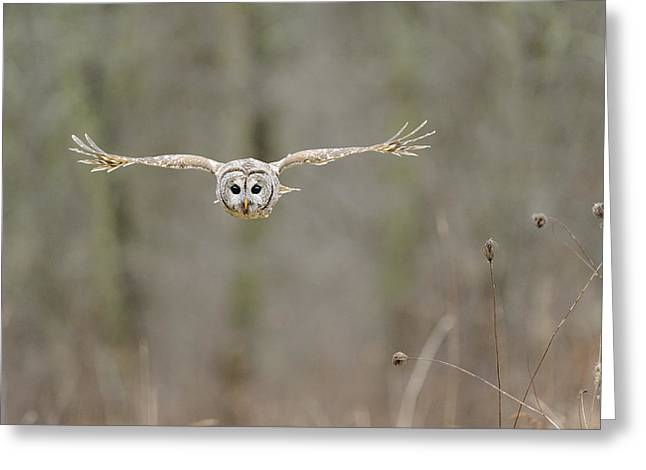 Barred Owl Greeting Cards - Barred Owl in Flight II Greeting Card by Scott  Linstead