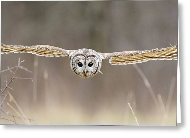 Bar Photographs Greeting Cards - Barred Owl in Flight Greeting Card by Scott  Linstead