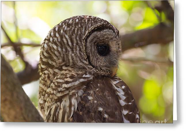 Mangrove Forest Greeting Cards - Barred Owl Looking Over Shoulder Greeting Card by Natural Focal Point Photography