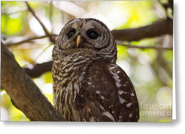 Mangrove Forest Greeting Cards - Barred Owl Looking Up Into the Canopy Greeting Card by Natural Focal Point Photography