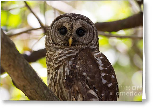 Mangrove Forest Greeting Cards - Barred Owl  Greeting Card by Natural Focal Point Photography