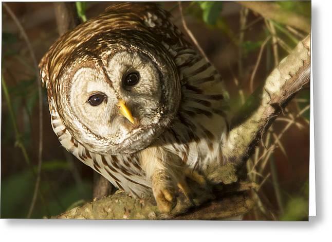 Jean Noren Greeting Cards - Barred Owl Peering Greeting Card by Jean Noren