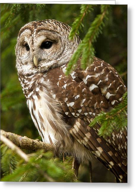 Ron Mcginnis Photography Greeting Cards - Barred Owl Greeting Card by Ron  McGinnis
