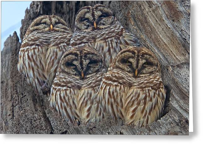 Barred Owls Who Are You Greeting Card by Betsy Knapp