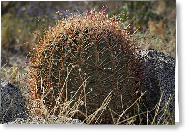 Barrel Cactus Greeting Card by Kelley King