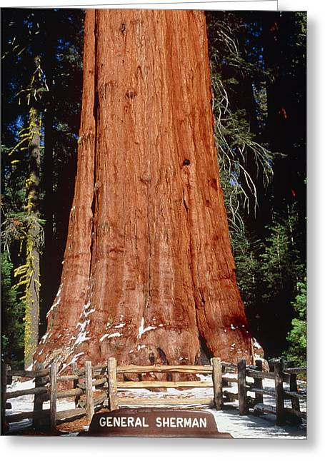 Giant Sequoia Greeting Cards - Base Of Giant Sequoia general Sherman Greeting Card by David Nunuk