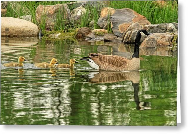 Canadian Goose Greeting Cards - Bashful - Grumpy and Sleepy  Greeting Card by Donna Kennedy