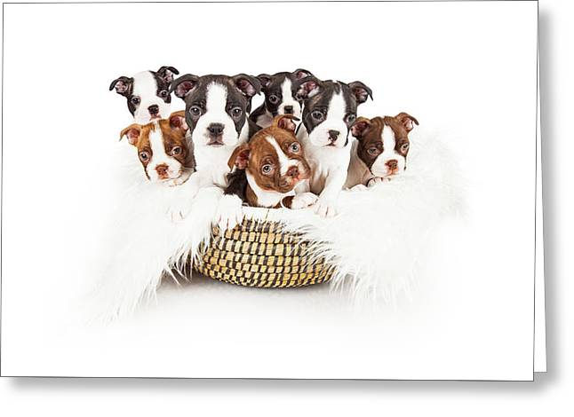 Puppies Photographs Greeting Cards - Basket of Boston Terrier Puppies Greeting Card by Susan  Schmitz