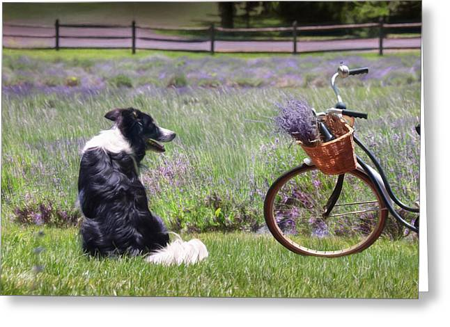 Collie Greeting Cards - Basking in Lavender Greeting Card by Lori Deiter