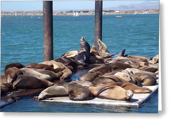 Sea Lions Greeting Cards - Basking on the Bay Greeting Card by Kathleen Moore Lutz