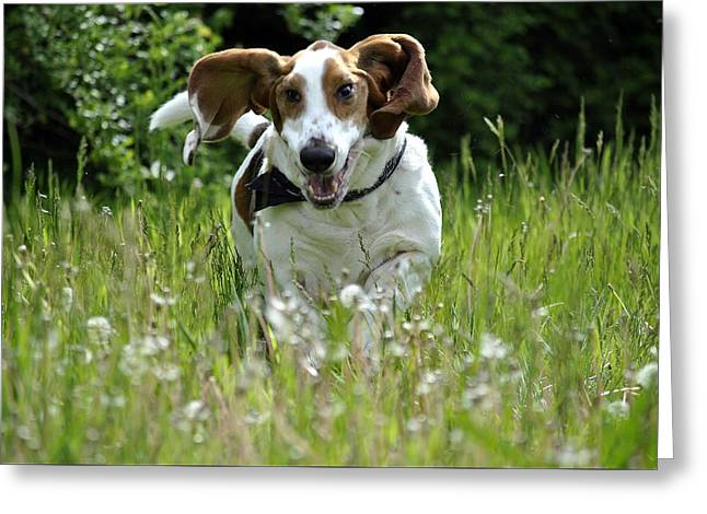 Basset Hound Greeting Cards Greeting Cards - Basset Hound Running  Greeting Card by Marysue Ryan