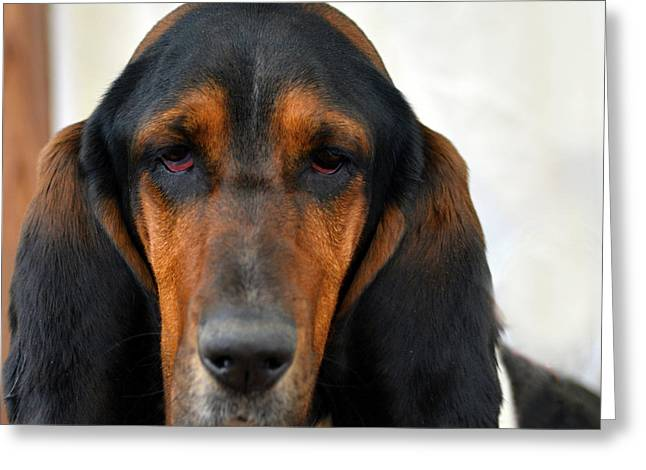Basset Hound Greeting Cards Greeting Cards - Basset Hound Stare Greeting Card by Marysue Ryan