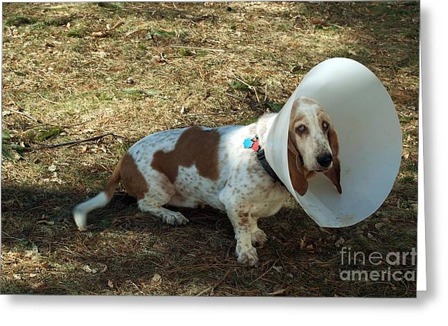 Pet Care Greeting Cards - Basset Hound With Elizabethan Collar Greeting Card by John Kaprielian