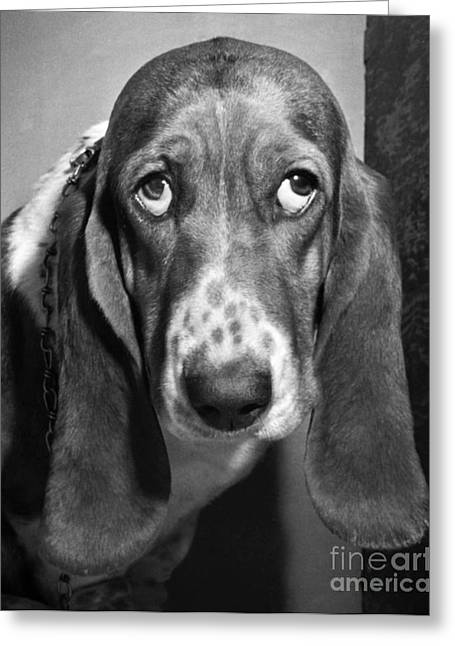 Droopy Greeting Cards - Basset Hound Greeting Card by Ylla