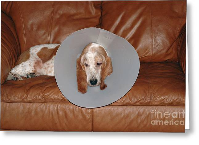 Pet Care Greeting Cards - Basset With Elizabethan Collar Greeting Card by John Kaprielian